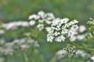 Flor de Cicuta