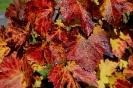 Follas vermellas Vides