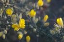 Flor de Toxo