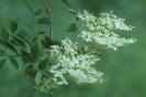 Flor de Sabugueiro
